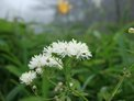 May: Greater meadow rue