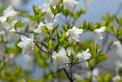 May: Cork bark white azalea