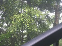 コメツガの新芽がきれい