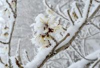 雪の中、マンサクが咲き続けます