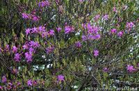 トウゴクミツバツツジ5分咲きです