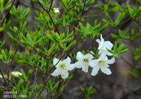 シロヤシオ咲き始めました