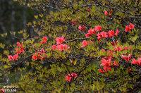 ヤマツツジ、咲き始めです。