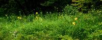 一分咲きといったところでしょうか。たくさんの蕾が開花を待っています