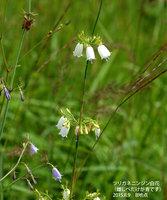 ツリガネニンジン(白花)雌しべだけ青です