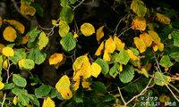 マンサクの黄葉も