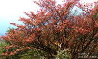 アカヤシオも紅葉し始めました