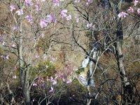 霧降の滝 アカヤシオ ピーク過ぎ
