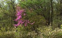 キスゲ平のトウゴクミツバツツジ咲き始めました