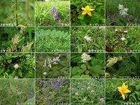 6/28 開花情報 キスゲ平で現在見られるお花です