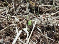キスゲの新芽