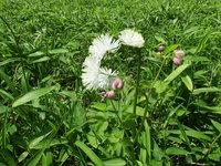 カラマツソウ開花