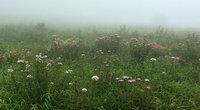 夏の花が見頃。ヨツバヒヨドリとシモツケソウ