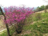 トウゴクミツバツツジが咲き始めました