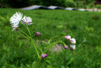 カラマツソウ咲き始めました